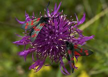 """Greater Knapweed with """"6-spot Burnet"""" Moths by George Row"""