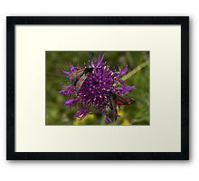 "Greater Knapweed with ""6-spot Burnet"" Moths Framed Print"