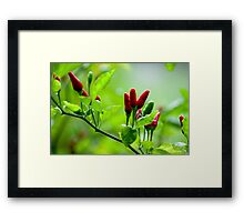 Bird's Eye Hot Chilli Love  Framed Print