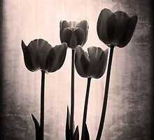 Tulips by Emjay01