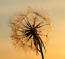 Dandelion Sunset by Jonathan Cox
