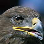 Steppe Eagle by Chris Monks