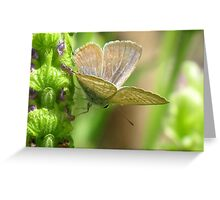 Poised - Long-tailed Pea Blue Butterfly Greeting Card