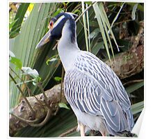 Yellow-crowned Night Heron In a Tree Poster