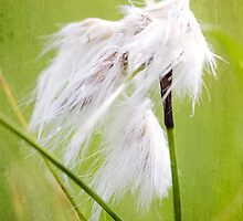 common cottongrass by novopics