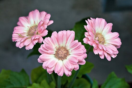 Pink Gerbera Daisies by PhotosByHealy