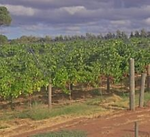 Wine Yard Next To Swan River Upper Swan by Elliot62