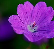 Meadow Cranesbill by ncp-photography