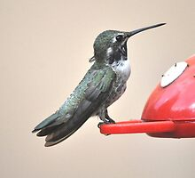 BABY MALE COSTA'S HUMMINGBIRD ON FEEDER PERCH by JAYMILO