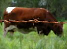 """""""RUSTY COW"""" Best Viewed Large by waddleudo"""