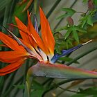 Bird of Paradise Flower by RedHillDigital