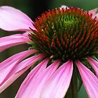 Echinacea in Manitou Springs by dfrahm