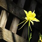 Wooden fence, yellow flower by dfrahm