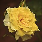 yellow rose by jhawa