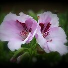 Geranium Flowers by kkphoto1
