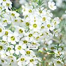 White Geraldton Wax wildflowers by Kell Rowe