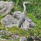 Grey Heron by Graeme  Hyde