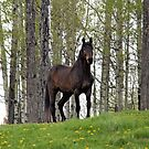 Percheron Thoroughbred Horse by Val  Brackenridge