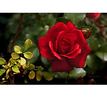 My Love is Like a Red, Red Rose... Photographic Print