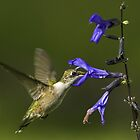 FEMALE HUMMER UP CLOSE by imagetj