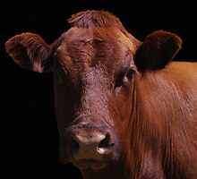 Cow Out Of The Dark by Gary Benson