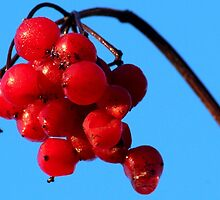 Red Berry Blue Sky by ncp-photography