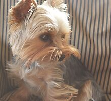 Yorkie Puppy by NatalieCollette