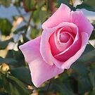 Pink Rose 1 by Jesi Marie Timpe