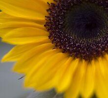 sunflower 2 by ekochanphotos