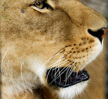 723 lioness by pcfyi