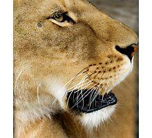 723 lioness Photographic Print
