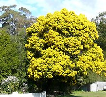 Wattle  by Margaret  Hyde