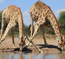 Giraffe - African Wildlife Background - Splitting for Sips by LivingWild