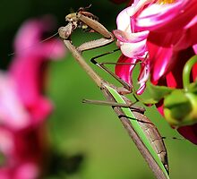 Praying Mantis Eating a Bee by Gilda Axelrod