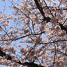 Cherry Blossoms by debidabble