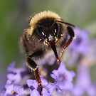 Bee Close-up by AnnDixon
