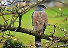 Coopers Hawk by Jean Poulton