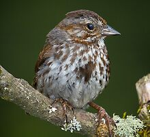Song Sparrow by RandyHume