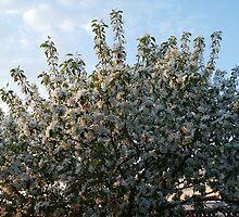 Apple Tree by Sandra Foster