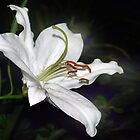 White Lily by cclaude