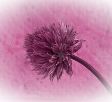 Single Chive Blossom  by Sandra Foster