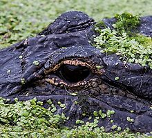 GATOR EYE by Gail Falcon