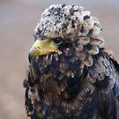 Bateleur Eagle by Lindie