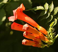 Trumpet Vine Flowers by Linda  Makiej Photography