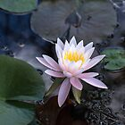 Water Lily by Lynn Gedeon
