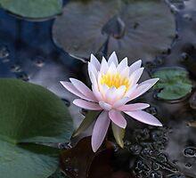 Water Lily by Lynn Gedeon