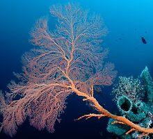 Fan coral and sponge, Wakatobi National Park, Indonesia by Erik Schlogl