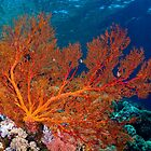 Sea fan in shallow water, Wakatobi National Park, Indonesia by Erik Schlogl