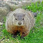 Ground hog by crspix