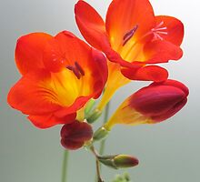 Fragrant Freesia.. by NaturesTouch